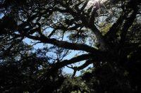 04沿途大鐵杉