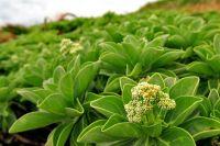 09海濱的第二層植物~白水木