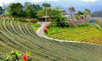 31八卦茶園景觀