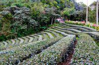 32八卦茶園景觀